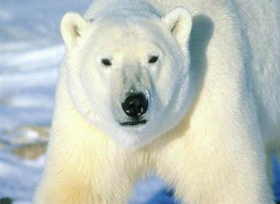 http://optopus.ucoz.ru/Animals/Dangerous/medved.jpg